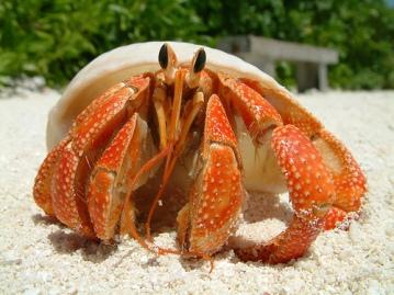 Hermit-Crab-hermit-crabs-13766067-500-375